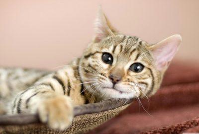 Diagnostiniai testai katėms