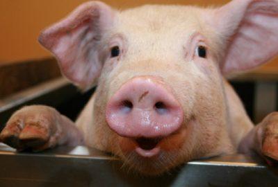 Diagnostiniai testai kiaulėms
